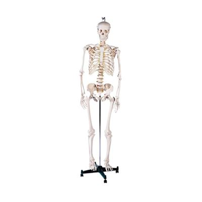 Picture of 170cm SKELETON & STAND