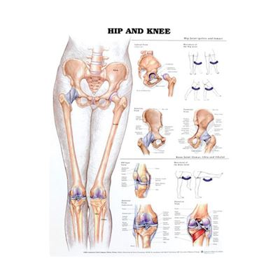 Picture of HIP & KNEE ANATOMICAL CHART