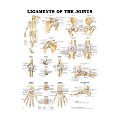 Picture of LIGAMENTS OF THE JOINTS CHART