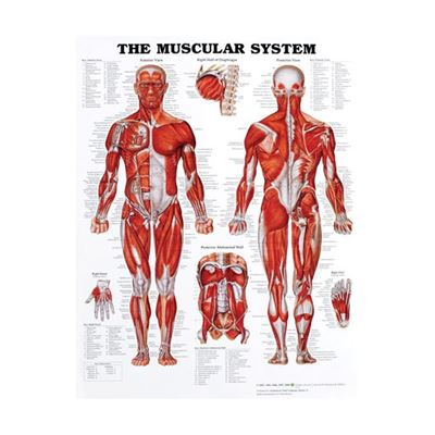 Picture of THE MUSCULAR SYSTEM CHART