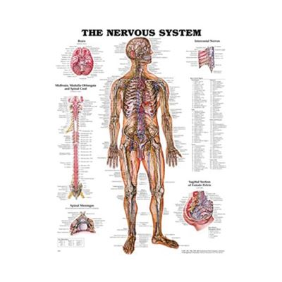 Picture of THE NERVOUS SYSTEM CHART