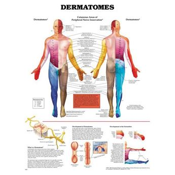 Picture of DERMATOMES ANATOMICAL CHART